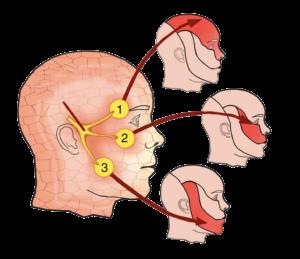Curar la neuralgia del trigémino con quiropráctica es posible 2